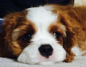 Ollie headshot