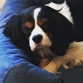 Beau (adopted)